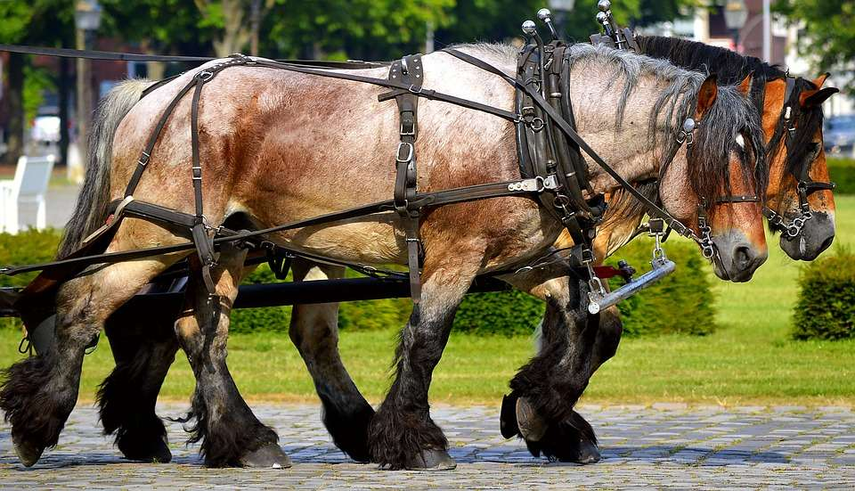 chevaux de trait fragiles