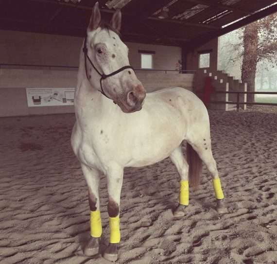 cheval gris classe
