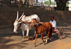 cheval inde